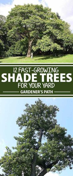 Shade trees are natural climate control for your home and yard. They offer protection from the light and heat of the sun and can serve as a buffer against strong, cold winds that whip heat away from the house. Gardener's Path has compiled a selection of fast-growing shade trees, excellent selections for your home in every US Hardiness Zone. Read more.