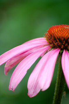 Echinacea is known for it purple flower, and ability to help boost the immune system! #herbs #flowers #nature