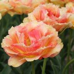 Meaning 'Go with God' Vaya con Dios is heavenly indeed. The fully double, fringed petals display the brilliant colours of a setting sun. Mail Order Plants, Bulb Flowers, Garden Inspiration, Perennials, Color Change, Tulips, Peach, Gardens, Dios