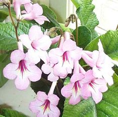 Do It 101.com How to Care For African Violets