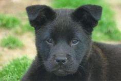 Velvet-PUPPY is an adoptable Labrador Retriever Dog in West Windsor, NJ.