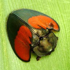 I'd never heard of tortoise beetles. Not that my ignorance is significant. There are probably species of beetles in the world - and counting. More are discovered every year. Cool Insects, Bugs And Insects, Cool Bugs, Carapace, A Bug's Life, Beetle Bug, Beautiful Bugs, Insect Art, Weird Creatures