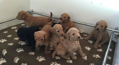 Our Puppies — Kooroora Bay Groodles Newcastle Nsw, Banner Images, Puppies For Sale, Dogs, Animals, Animales, Animaux, Doggies, Animais