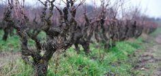 Vinisfera - Macedonia czyli winnice północnej Grecji
