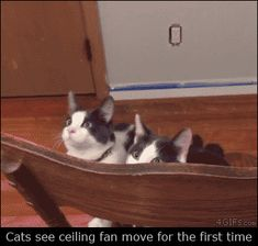 Cats see ceiling fan move for the first time