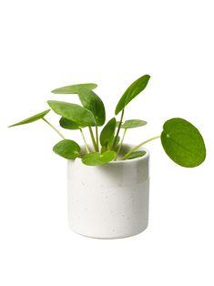 Kilpipiilea 6cm Office Plants, Planter Pots, Mini, Cravings, Fresh, Interior, Cactus, Indoor, Interiors