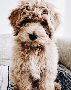 Puppies Discover 30 Of The Best Adorable Labradoodle Names As a combination of Labrador and Poodle parents the Labradoodle is one of the most popular newer breeds in the world today! Cute Dogs And Puppies, I Love Dogs, Doggies, Cute Baby Animals, Animals And Pets, Nature Animals, Wild Animals, Beauceron Dog, Bichon Havanais