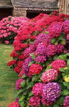 Love hydrangeas when they aren't in blue