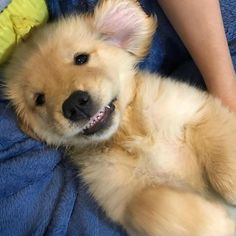 """7,443 Likes, 140 Comments - Oshie Golden Bear (@oshiegoldenbear) on Instagram: """"Smiley Saturday Credit: @goldencacauau and the little teefers Use #OshiebearAffair to be featured!"""" #goldenretriever #goldenretrieverpuppy"""