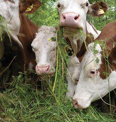 Latte, Grass, Cow, Milk, Animals, Animais, Herb, Animales, Animaux