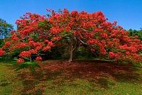 Flamboyant Tree  Caneel Bay Resort  St. John  Virgin Islands National Park