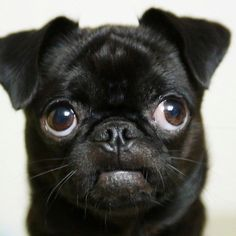 Funny Dogs but only Pug Videos - Pug Compilation 12 Cute Pugs, Cute Puppies, Baby Pug Dog, Teacup Pug, Cute Pug Pictures, Black Pug Puppies, Pugs And Kisses, Mundo Animal, Pug Love