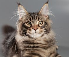 Maine Coon cats are known for many things. For people that own these cats they know all too well the interesting characteristics that their large cat possesses. We may not have all the things in just this list, but we can certainly say that this list of 10 things only Maine Coon cat owners understand …