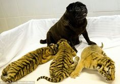 Proud: The pug seems completely unconcerned at the litter of tigers relying on her milk for survival