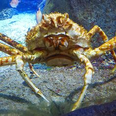 Monster Japanese Crab a metre across! Would not want to see the day when an army of these decides it's time to take over the world! #DH #Vienna