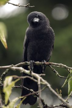 """There is wisdom in a raven's head."": Photo"