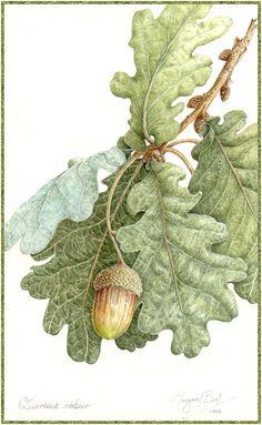 "Margaret Best ""Quercus robur - English Oak"" 2006   Margaret …   Flickr Illustration Botanique, Tree Illustration, Botanical Illustration, Oak Leaves, Tree Leaves, Tree Tree, Autumn Leaves, Botanical Drawings, Botanical Prints"