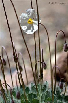 Arctomecon merriamii : Bear Poppy, endemic to Death Valley