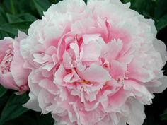 DIY Network showcases peony planting partners, including daylily, foxglove, azalea and ornamental grasses. Spring Flowering Bulbs, Spring Bulbs, Most Popular Flowers, Amazing Flowers, Fall Hanging Baskets, Lily Bulbs, Oriental Lily, Annual Flowers, Orchid Care