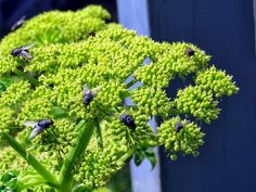 Angelica pachycarpa (shiny angelica)