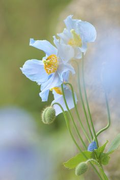 This is Himalaya blue poppy, planted in the mountain behind Kobe city.