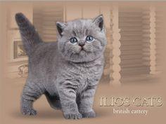 british kittens - www.ilioscat.ru