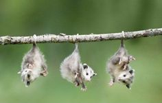 Baby possums doing what possums do...