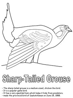 Beautiful American Robin Coloring Page | Birds | Pinterest | American Robin, Robins  And Homeschool