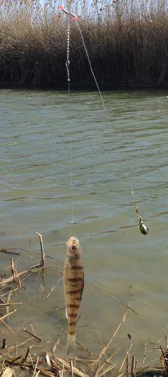 Perch fishing!!