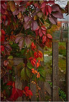 Autumn Vines, Bordeaux, France photo via patricia