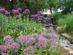 Overland Park Arboretum in Olathe, Kansas.   Love the Allium!