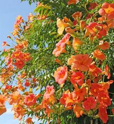 The bignone is a formidable climbing plant with generous flowering. Care, pruning, disease, and planting, here is what you need to know for beautiful bignones Climbing Flowers Trellis, Flower Trellis, Climbing Vines, Garden Trellis, Trellis Fence, Garden Types, Garden Art, Planting Vegetables, Vegetable Garden