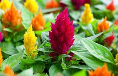 Celosia flower care is simple and easy, with slight maintenance you can get prolifically blooming celosia flowers in your home and garden