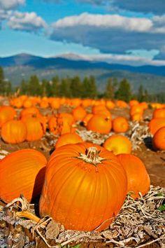 Pumpkins, Halloween, Greenbluff, Siemers, Spokane WA, 111010Gree12V-0457