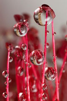 raindrops on bottlebrush