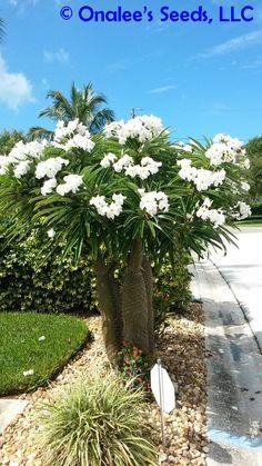 Image 0 of Madagascar Palm, Pachypodium lamerei, Succulent, Cactus seeds Tropical, blooming