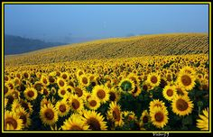 field of sunflowers, Italy