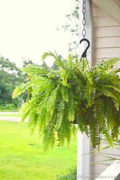 I want ferns on the front porch.  -How to keep your ferns green and growing even in the summer heat