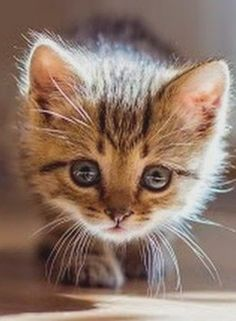 Kittens And Puppies, Cute Cats And Kittens, Kittens Cutest, Animals And Pets, Baby Animals, Cute Animals, Beautiful Kittens, Cute Baby Cats, Cat Life