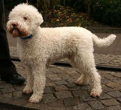 About 500 Lagotto Romagnolo dogs can be found in the United States - Facts You Need to Know!