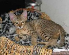 Egyptian Mau Cat in a basket
