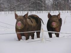 first of all, this is a great picture- Pigs in Snow? fantastic. second of all, I had a market pig in 4-H for many years. Pigs were easy money in 4-H.