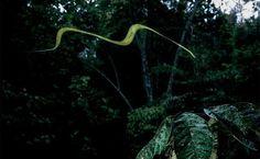 Serpente saltadora encontrada na floresta tropical de Bornéu