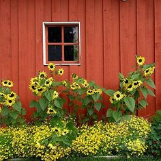 Sunflowers around the barn...maybe I paint the chicken coop red and plant sunflowers around it... brilliant!