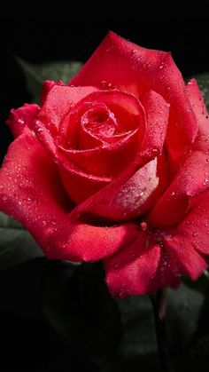 rose, flower, bud, drop, freshness, black background