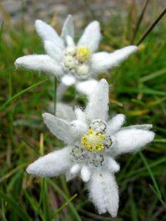 sementes de flores sementes edelweiss sementes lEONTOPODIUM aLPINUM única estrela-flor exótica