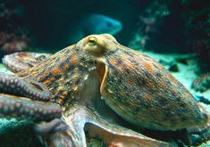 Loving the alien — keeping an octopus in the aquarium — Practical Fishkeeping…