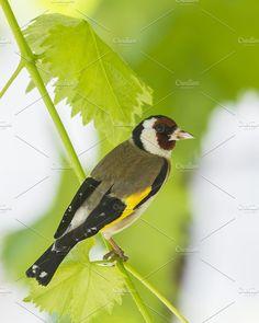 European goldfinch Photos European goldfinch by Nat