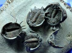 Basseiarges mellishae Trilobites