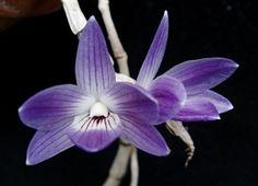 "Dendrobium victoria reginae<span class=""cross""></span>"